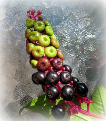 Ink Weed Berries (Mary Faith.) Tags: summer art nature design stem weed berry nz round noxious inkweed multicolured mygearandme ringexcellence blinkagain