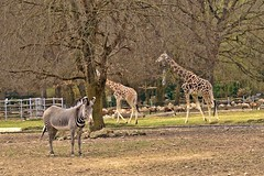 Augsburg Zoo (emmendinger) Tags: bear brown zoo rind asien flamingo lion ziege afrika emu lama pelikan giraffe enten vgel elefant robbe mandrill nandu augsburg loris ursus giraffa braunbr lwe biber papiohamadryas erdmnnchen schaf schwne knguru schimpanse hyaena seehund wasserbffel schlangen pantheraleo reptilien suricata amphibien alpensteinbock alpaka chrysocyonbrachyurus grevyzebra onager primaten seebr braunbaer breitmaulnashorn sugetiere arctos capraibex mandrillussphinx ceratotherium equusgrevyi mhnenwolf rothschildgiraffe bubalusbubalis mantelpavian nattern bennettknguru vipern guanicoe streifenhyne 31032012