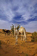 Hurry up Tariq - Explore (TARIQ-M) Tags: sky cloud tree sahara landscape desert camel camels riyadh saudiarabia hdr بر الصحراء جمال canoneos5d الرياض صحراء جمل ابل كانون نياق المملكةالعربيةالسعودية ناقة صحاري canonef1635mmf28liiusm canoneos5dmarkii حاشي براري