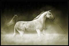 Arabian Horses (HANI AL MAWASH) Tags: art animal photo al kuwait hani  1color artphoto      animalkingdomelite mywinners  aplusphoto kuwaitphoto   almawash almwash kuwaitartphoto kuwaitart  mawash dada424