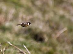 stonechat in flight (carl jones 71) Tags: inflight stonechat birdperfect