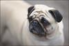 In the Park (@2008) Tags: dog holland netherlands dof bokeh pug nieuwegein sukke a900 zeiss135mmf18 sal135f18z sal135f18za