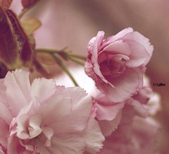 This years spring flowers (Irene Bialas) Tags: pink flowers white tree leaves petals spring blossoms lulhon