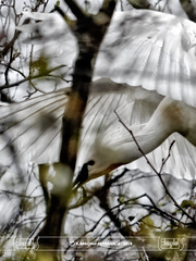 You can stand under my umbrella (Eric Bagchus) Tags: dutch birds fauna nederland vogel spoonbill lepelaar platalealeucorodia haarlemmerliede