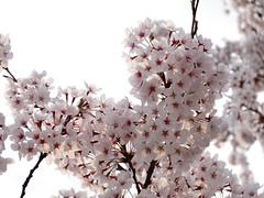 Sunset tone (peaceful-jp-scenery) Tags: sunset cherry evening sony blossoms cybershot     dschx30v