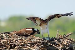 Osprey Pair in Nest with Fish (Mr.TinDC) Tags: fish bird birds animals virginia nest wildlife explore va dcist raptors osprey birdsofprey birdofprey pandionhaliaetus bellehaven explored