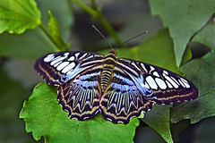 Wonderful Nature (scorpion 13 /) Tags: park colour nature animal butterfly germany garden insect walk butterflies visit sylvia brauner naturesfinest segler bendorf sayn parthenos