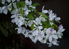 Bokeh No. 12: The Bokeh is Black (The Reluctant Fisherman) Tags: flowers black bokeh crabapple floweringcrabapple blackbokeh