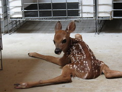 Bambi (BlackHawk Photography) Tags: baby playing motion jumping action running deer fawn