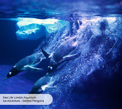 London Aquarium Ice Adventure Gentoo penguin dive (ravenhill design) Tags: design immersive interactive bas londonaquarium happycampers spidercrab ravenhill researchstation gentoopenguins britishantarcticsurvey iceadventure crawlthrough ravenhilldesign