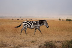 Lone zebra (Gaute H.) Tags: animals canon kenya afrika masaimara 1100d
