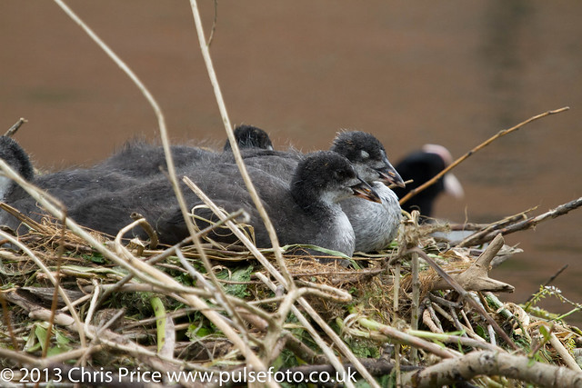 Coot Chicks on Nest