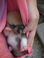 Boxer puppy (Inbal Weisman) Tags: dog puppy 14days