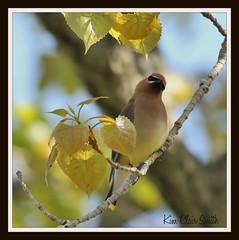 Cedar Waxwing (KimBirdsOhio) Tags: birding cedarwaxwings odc ourdailychallenge beginswithc tawasbirds