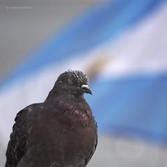Un Sueo Posible (Tato C) Tags: argentina pigeon flag feathers paloma bandera plumas closedeye ojocerrado