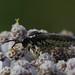 Tenthredo sp. (Hymenoptera: Symphyta) from SE-Germany