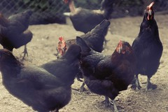 The Great Egg Hunt (magastrom) Tags: digital zeiss sweden sony poultry f28 hens 80mm biometar storholmen pentaconsixlens nex7 magastrom magnusåström