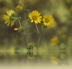 Yellow Wildflowers (Judy Rushing) Tags: flowers nature yellow flickr pattern natcheztrace yellowwildflowers ngm wildflowera herowinner npgm