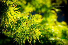 Japanese laceleaf Maple (Jon Anderson|Photography) Tags: plant tree green zeiss photography leaf jon bokeh vibrant sony japanesemaple anderson fullframe alpha za jonanderson 850 laceleaf a sal2470z sonycz2470mmf28