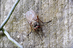 Fly on the fence post (StevieD70) Tags: macro closeup insect fly fuji wildlife bugs finepix flies fujifilm mygarden hs20 stevied70