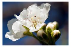 Flor blanca (rromer) Tags: flowers blue white macro green 50mm dof florblanca extensiontubes afsnikkor50mmf14g