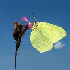 Dinner for One - Common Brimstone (Gonepteryx rhamni) on flowering Meadow (Batikart ... handicapped ... sorry for no comments) Tags: pink blue light summer vacation sky cloud white plant flower macro male eye nature animal yellow closeup fauna canon butterfly germany insect geotagged deutschland nationalpark flora holidays europa europe day blossom sommer wildlife urlaub natur pflanze wing himmel sunny lepidoptera gelb iridescent blau makro blte insekt tender vacanze tier 2012 2010 schmetterling mecklenburgvorpommern mritz redcampion caryophyllaceae waren mecklenburgwesternpomerania zitronenfalter canonpowershota610 gonepteryxrhamni gonepteryx 100faves 200faves palp rotelichtnelke tagfalter viewonblack mritznationalpark commonbrimstone batikart weisslinge gelblinge feisnecksee