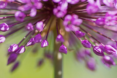 fireworks (Andreas Hagman) Tags: pink summer flower macro green nature closeup warm dof purple bright bokeh tripod ornamentalonion sonyalpha minoltaaf100mmmacro slta77