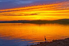 Heron Sunset (Kansas Poetry (Patrick)) Tags: sunset heron lawrencekansas clintonlake patrickemerson patrickseesnancysnewoffice