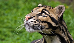Clouded Leopard 3 (Funky Foxy) Tags: lion africanlion cloudedleopard pantheraleo neofelisnebulosa flickrbigcats endangeredbigcats