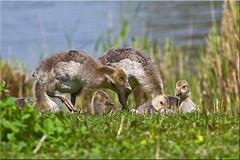 Young geese (Patrick Berden) Tags: geese gans ganzen 2012 oostvaardersplassen