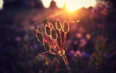 (Lindsey.Autumn) Tags: pink light sun flower macro june canon weeds bokeh goldenhour 2012 sunflare ringexcellence