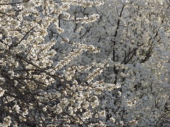 IMG_3812 (germancute) Tags: tree nature march spring blossom plum blte baum