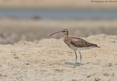 Whimbrel (SrikanthRajan) Tags: india iso400 spot handheld chennai whimbrel pulicat numeniusphaeopus canonef40056l canon7d apr2014 f7112000