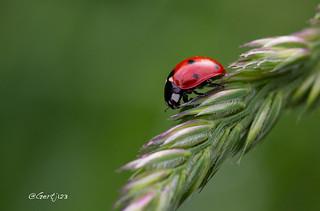 Lady-bug-solo-23414(1)