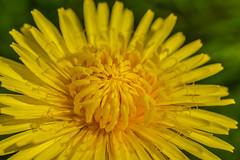 Dandelion (Stuart Lilley Photography) Tags: flowers plants plant flower nature nikon wildlife dandelion dandelions d3200