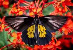 In Action (Trodes Rhadamantus / Golden Birdwing / troides rhadamantus) (www.yravaryphotoart.com) Tags: macro closeup canon butterfly insect action bokeh papillon insecte profondeurdechamp goldenbirdwing troidesrhadamantus canoneos7d canonef100mmf28lmacroisusm