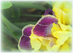 Irises (Stella VM) Tags: flowers garden spring irises