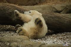 Eisbr Lilli im Zoo Bremerhaven 30.04.2016 Teil 2  12 (Fruehlingsstern) Tags: sunset sonnenuntergang polarbear lloyd lili bremerhaven zooammeer valeska eisbr canoneos750 tamron16300