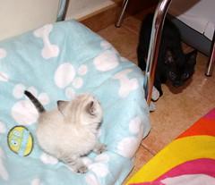 Gata Pucca (33) (adopcionesfelinasvalencia) Tags: gata pucca