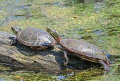 Painted Turtle (Chrysemys picta) (Shannonsong) Tags: ohio reptile turtles swamp marsh paintedturtle chrysemyspicta ottawanwr