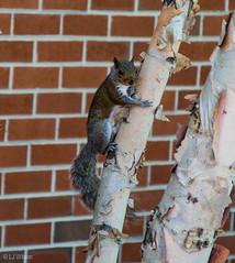 20160424 Old Town Alexandria Walk-5929 (TexasWeatherGirl13) Tags: squirrel urbanjungle oldtownalexandria 2016 historicalfredstreetbaptistchurch
