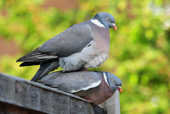 DSC_4709 Pigeons (PeaTJay) Tags: birds outdoors reading pigeon pigeons tamron berkshire gardenbirds lowerearley nikond300s