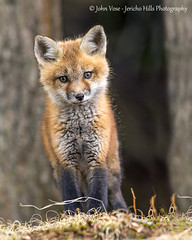 Red Fox Kit - Grafton Pond (Jericho Hills Photography) Tags: red wild baby cute nature beautiful animal horizontal mammal outdoors furry sweet wildlife exploring small den young adorable newengland canine nh fox kits wildanimal environment hunter kit curious pup predator youngster alert carnivore naturephotography redfox vulpesvulpes predatory babyanimal wildlifephotography vulpes foxkit wildlifeanimal youngredfox foxkits youngfox johnvose redfoxbaby jerichohillsphotography
