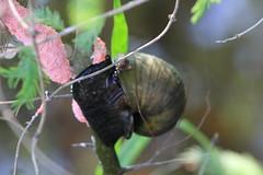 IMG_1925 (im2fast4u2c) Tags: summer lake apple texas birth snail eggs