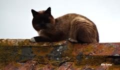 Gato no telhado (verridrio) Tags: cat gato sony chat  katze kedi  gatto  animal felino