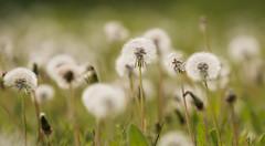 A Field of Time-5390 Explored (WendyCoops224) Tags: canon eos spring flora time dandelion explore clocks springwatch 70d explored 100400mml localbirdswildlife wendycooper wendycooper