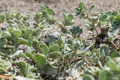 Snowy Plover chick (Corvus707) Tags: bird beach nationalpark birding conservation pointreyes endangered plover lupine shorebird pointreyesnationalseashore snowyplover threatened charadriidae