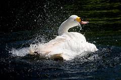 Bewick's Bathing Fury (Ger Bosma) Tags: lake water backlight droplets swan spray bathing flapping tundraswan bewicksswan cygnusbewickii cygnuscolumbianusbewickii kleinezwaan cisnechico cygnesiffleur pfeifschwan 2mg178764 cisnesilbador