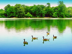 Fine Day at The Lake (dimaruss34) Tags: summer newyork reflection bird birds brooklyn image prospectpark commongrackle canadagoose dmitriyfomenko