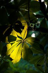 wawmorning180616_6795 2 (Tomasz Urbaszek) Tags: tree leaf poland warsaw chestnut